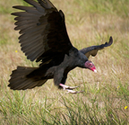 _dsc0034[334][1280] (turkey vulture)-1